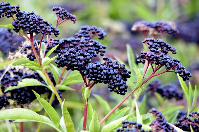 bush with clusters of elderberry fruit
