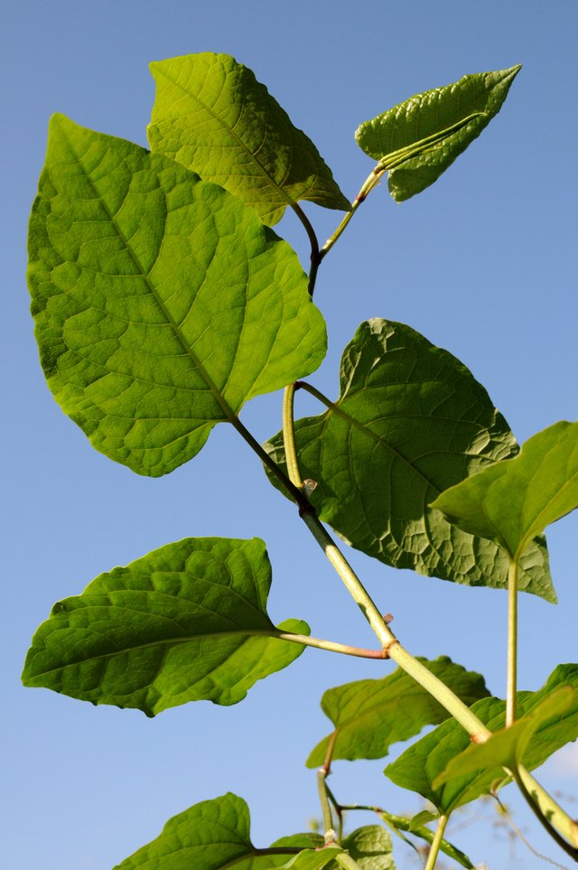 Young shoots of a japanese knotweed