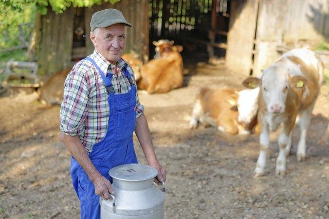 Farmer is working on the organic farm with dairy cows