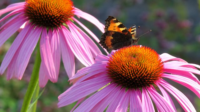 Small tortoiseshell butterfly on a Coneflower