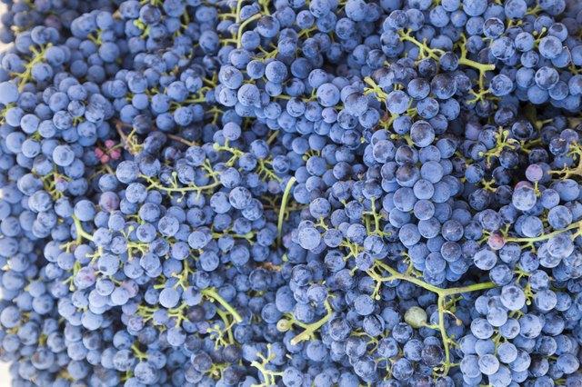 Merlot Grapes for wine making