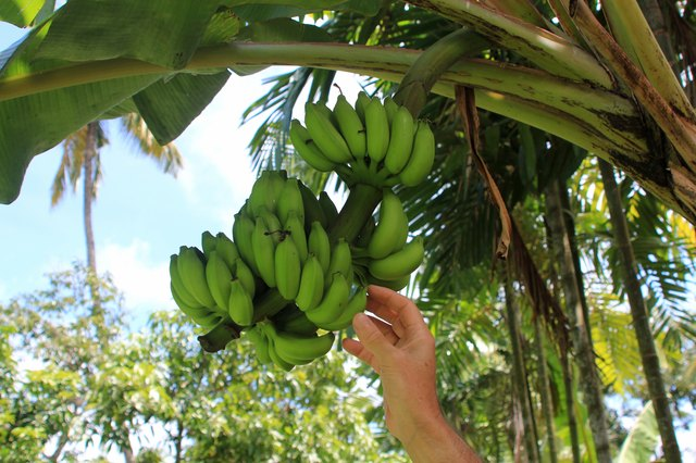 Man's hand picking a banana from a bunch of bananas