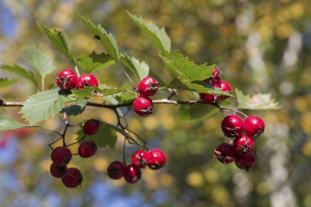 hawthorn branch close up