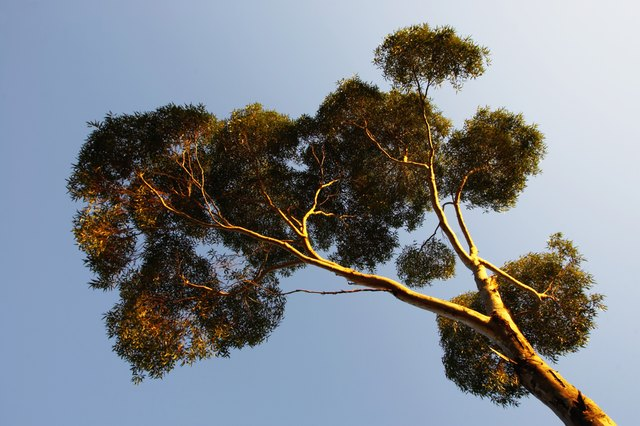 Eucalyptus tree, low angle view