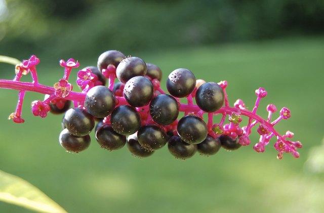 Phytolacca pokeweed berries