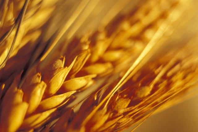 Close-up of wheat grain