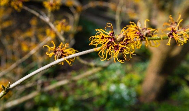 Orange flowering twig of a Witch-hazel shrub