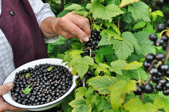 Senior woman picking ripe black currant