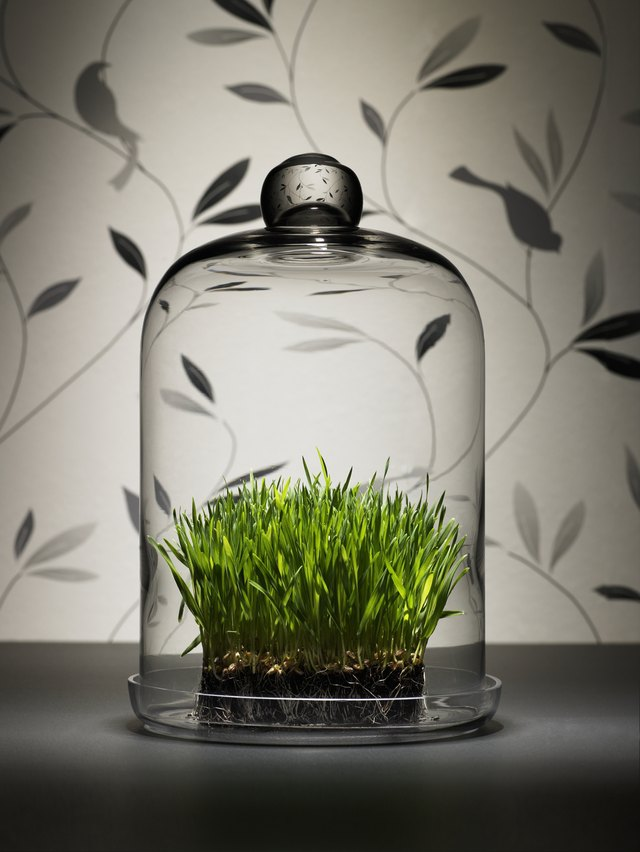 Wheat grass under glass dome