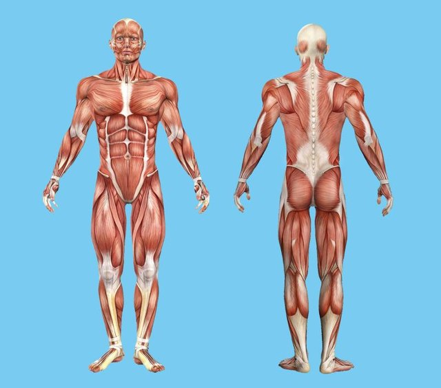 Male muscle anatomy featuring major muscles of human body.