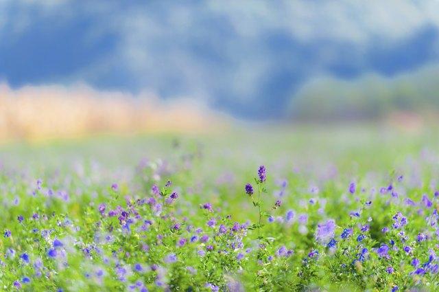 Beautiful rural field with alfalfa flowers