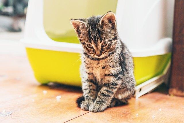 Sleepy pensive little tabby kitten