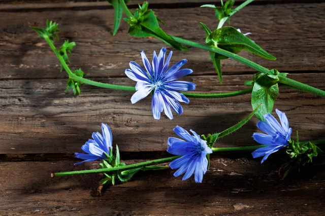 Blossoms of chicory