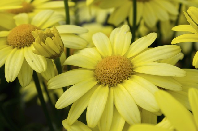 Close up of Arnica Flower