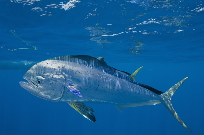 Mahi mahi or dolphin fish, (Coryphaena hippurus) Caribbean Sea with small parasites clinging to skin, off Isla Mujeres, near Cancun, Yucatan Peninsula, Mexico