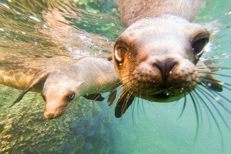 California sea lion pups