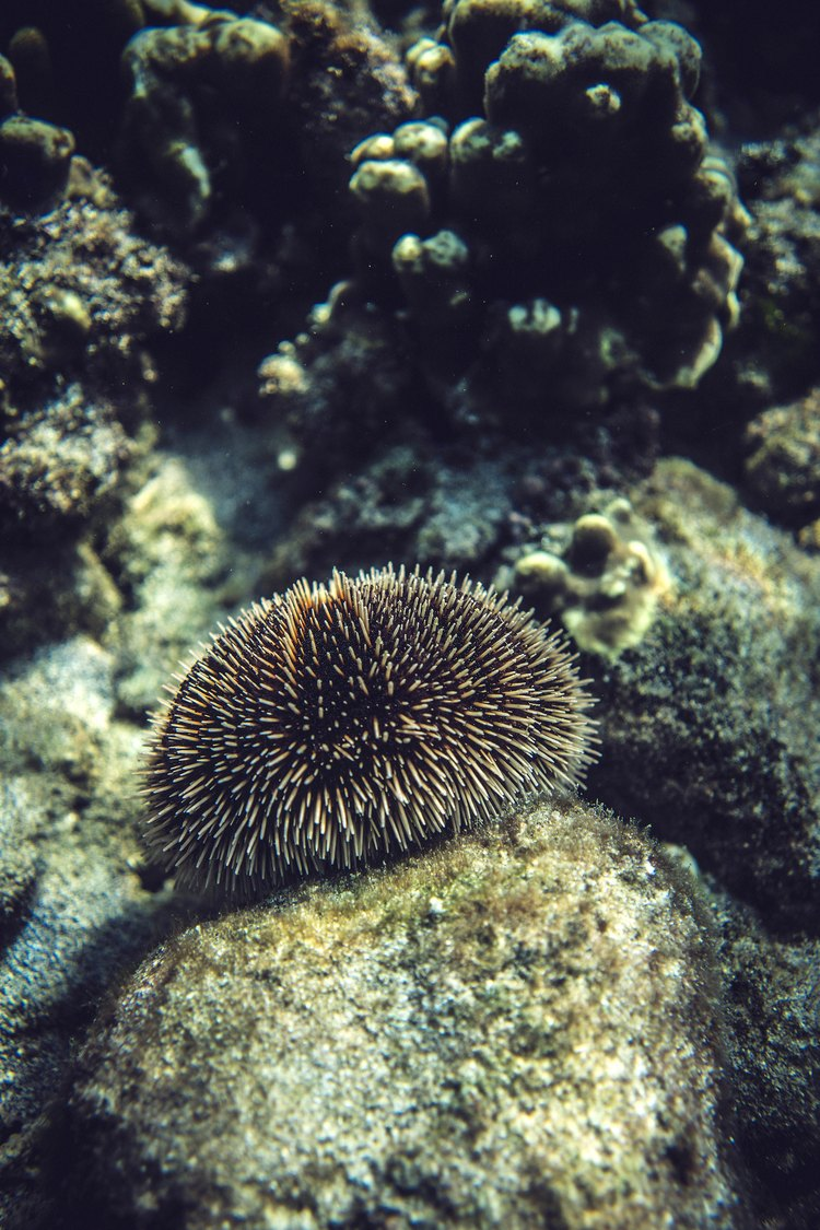 Urchin in the Sea of Cortez