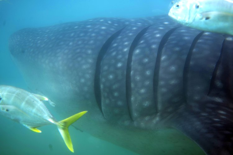 More Whale shark action