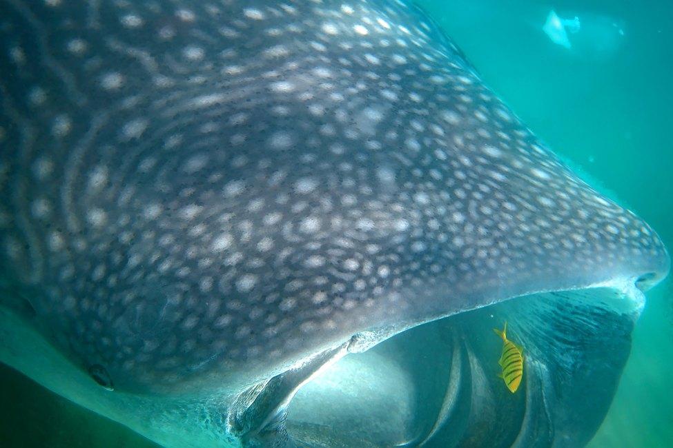 Whale shark in Baja